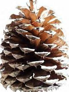 Pinecone; Actual size=180 pixels wide